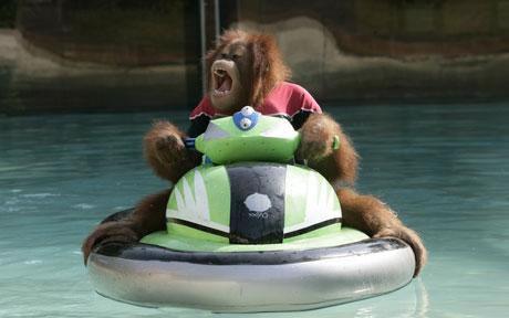 Orangutan jetskiing